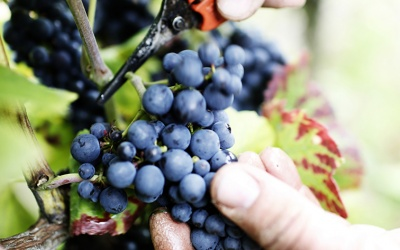 Germany expects good grape harvest in 2016