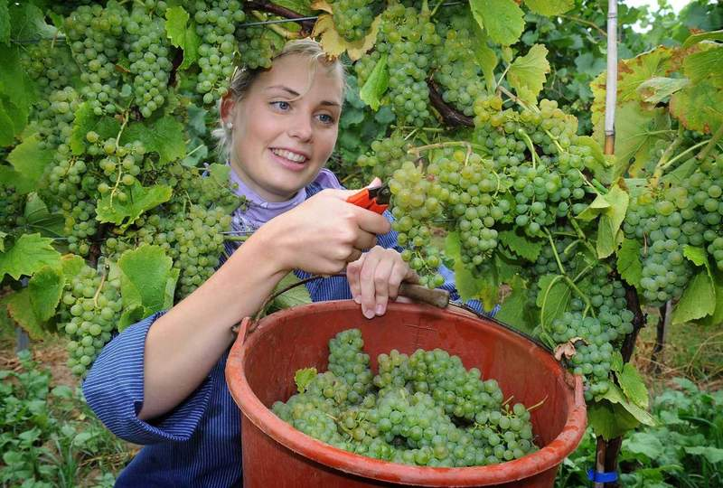Main grape harvest coming early in 2017