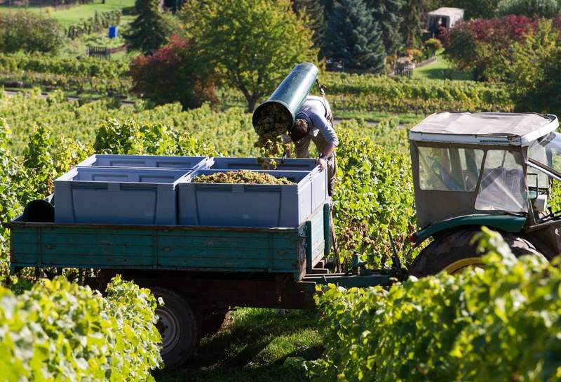 German wine growers optimistic as main harvest gets underway