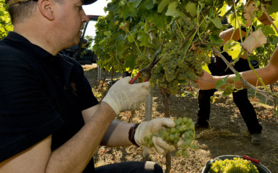 Grape harvest earliest on record