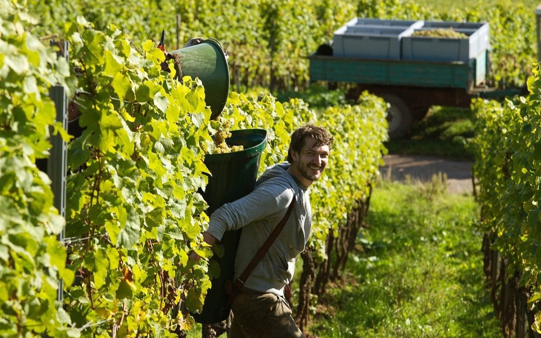 Germany set for its earliest ever grape harvest