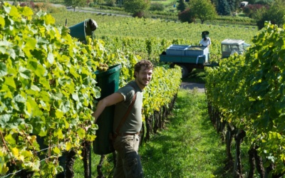 First grapes harvested in Germany – record breaking 100° Oe
