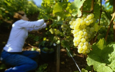 Germany's grape harvest 2018 delivers top qualities and quantities