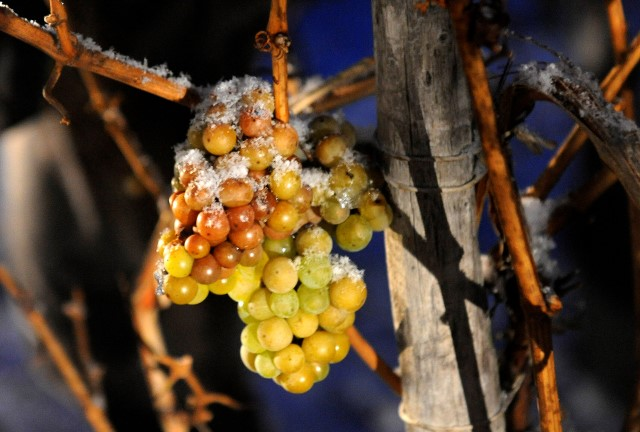 Early icewine harvest in Germany