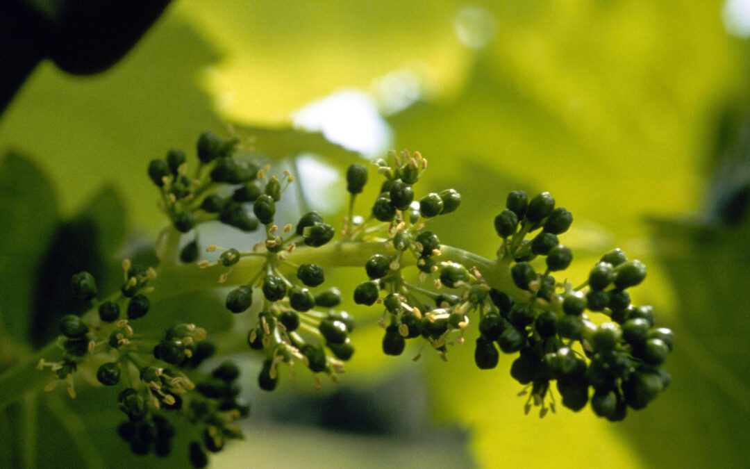Good conditions for flowering vines in Germany